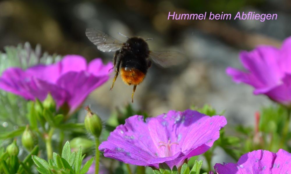 hummel insekt