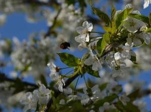 Kirschenbluete